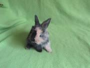 Продам декоративных домашних кроликов