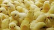 Закажите суточных цыплят от производителя! Инкубаторий №1