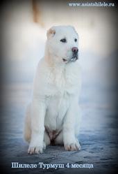 среднеазиатской овчарки выставочный щенок