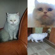 найдена персидская молоденькая кошечка