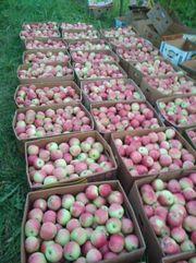 Яблоки оптовая продажа